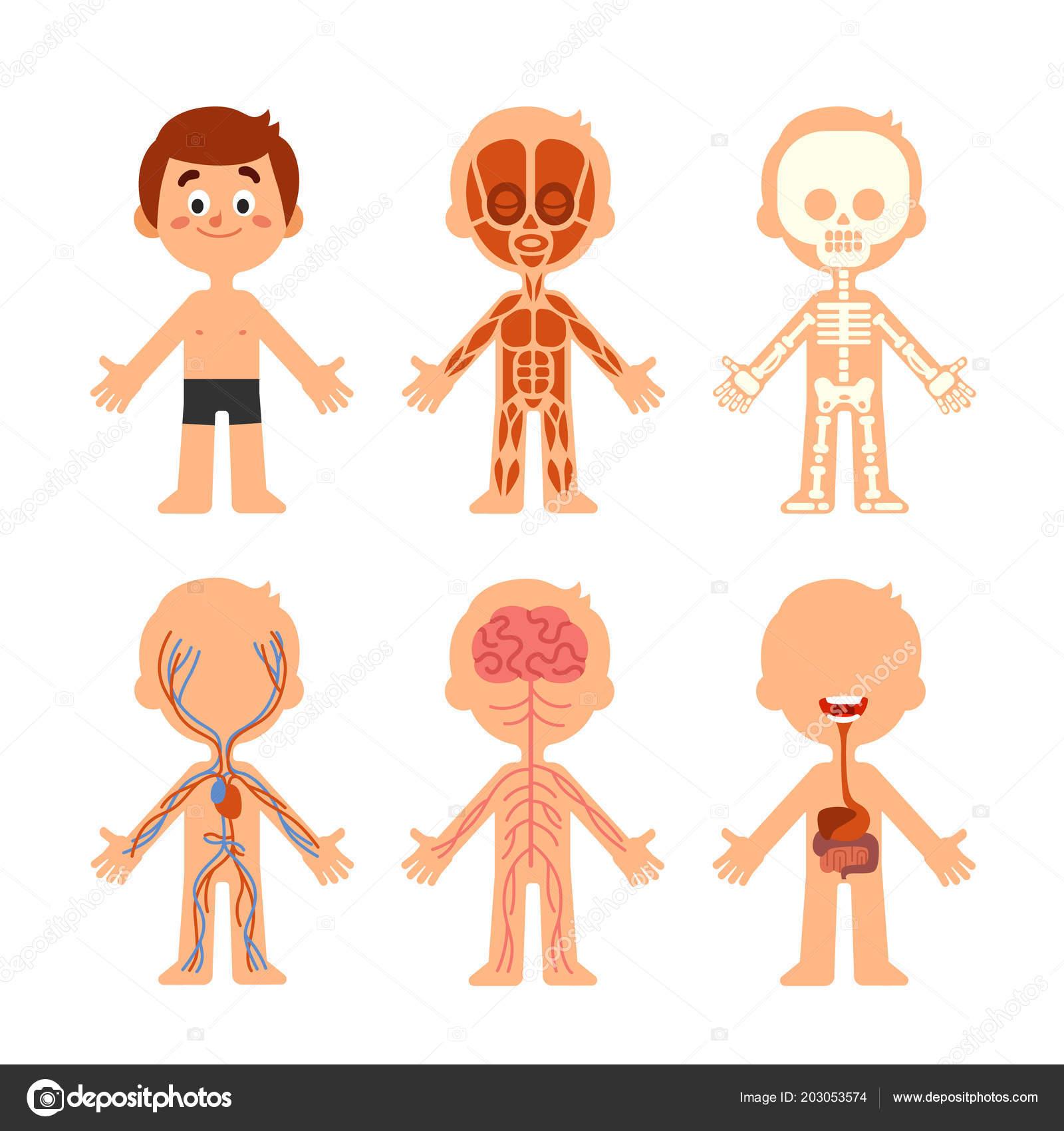 Cartoon boy body anatomy. Human biology systems anatomical chart ...