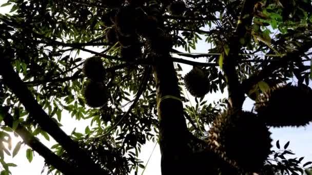 sklopit, Durian strom v zahradě, vzít video na pozadí