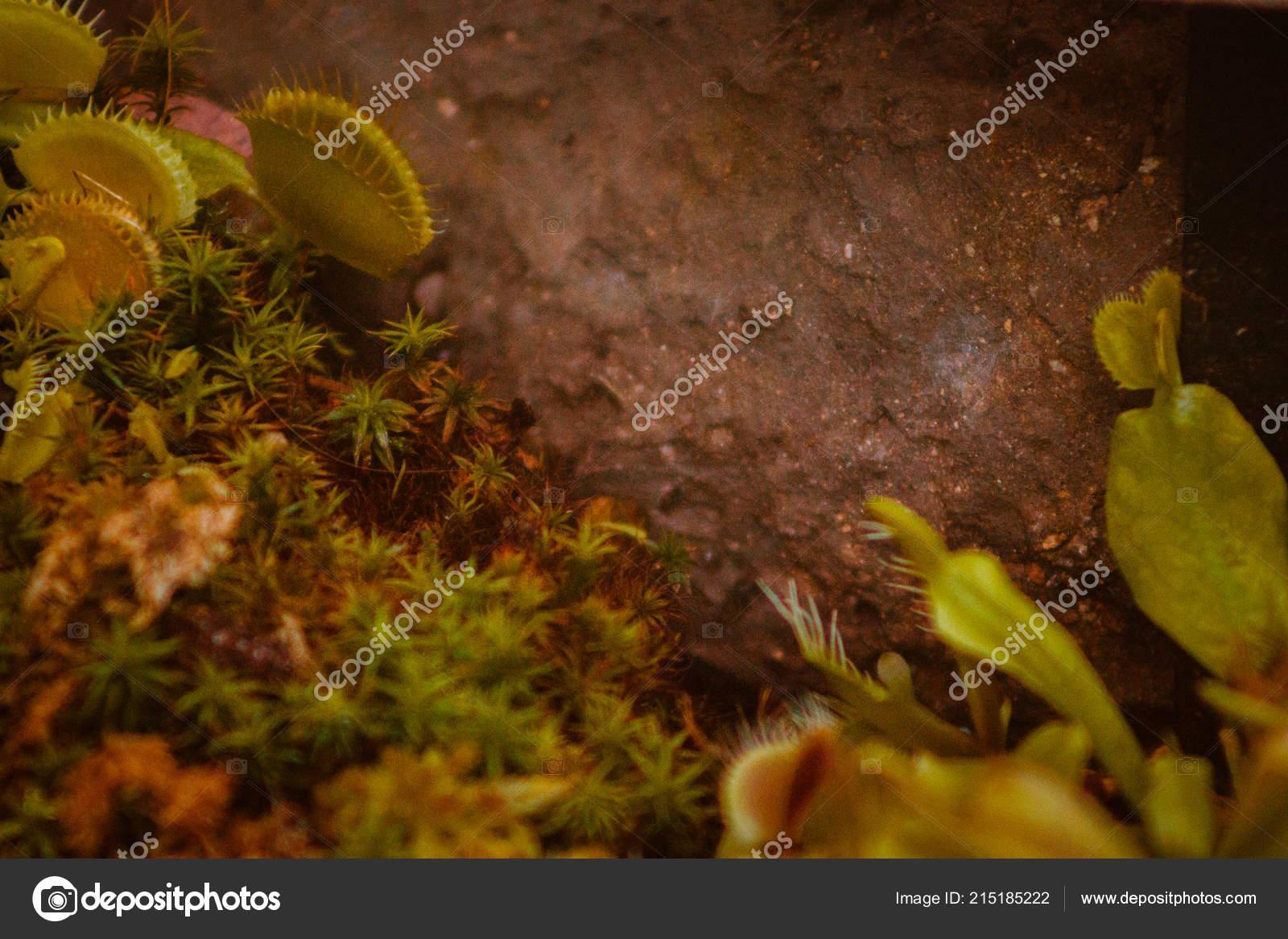 Venus Fly Traps Frederik Meijer Gardens — Stock Photo © mike.s ...