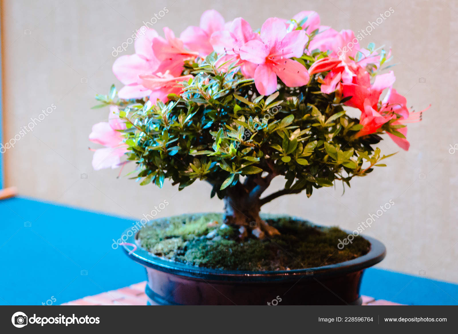 Bright Pink Flowers Blooming Bonsai Tree Stock Photo C Mike S Deemer Gmail Com 228596764