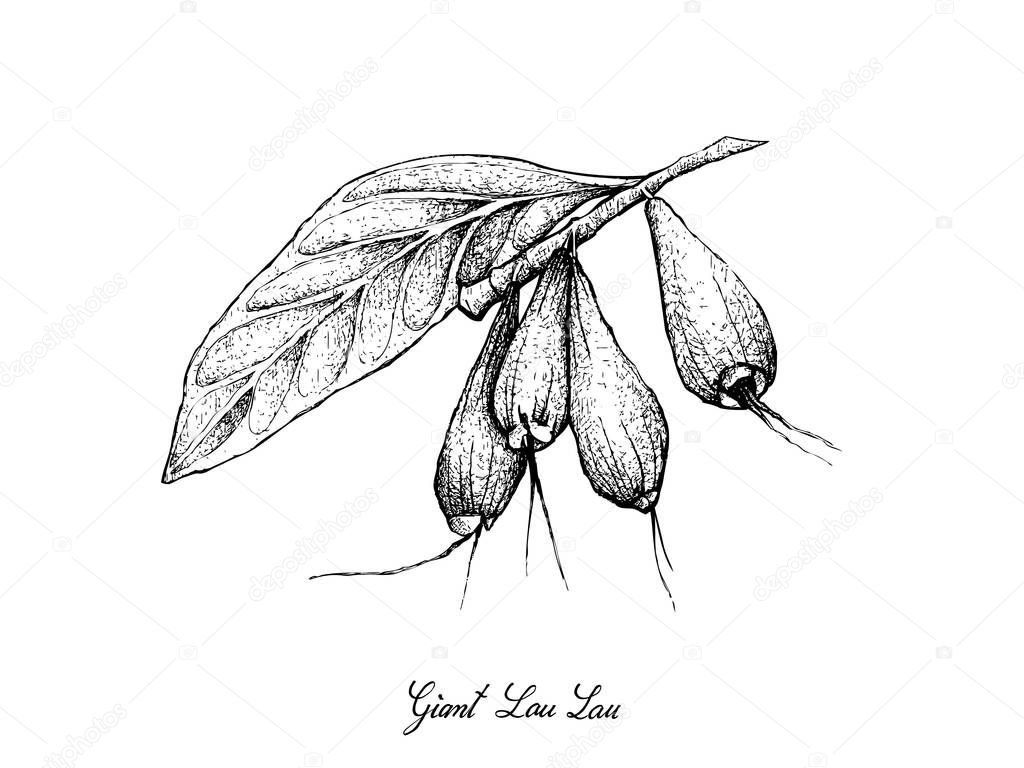 Tropical Fruits Illustration Of Hand Drawn Sketch Giant Lau Lau Or Eugenia Megacarpa Fruits Isolated On White Background Premium Vector In Adobe Illustrator Ai Ai Format Encapsulated Postscript Eps Eps Format
