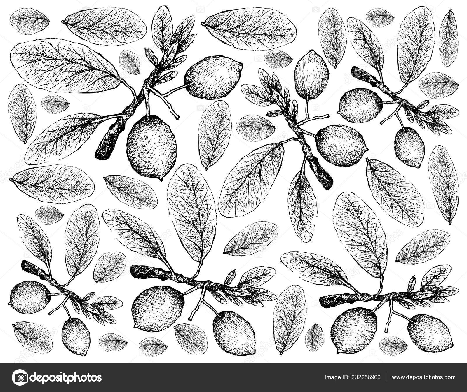 Tropical Fruit Illustration Wallpaper Hand Drawn Sketch Imbe