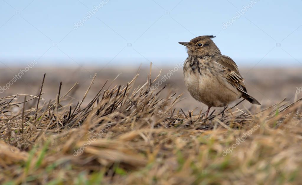 Crested Lark standing on the ground with yellow aged grass