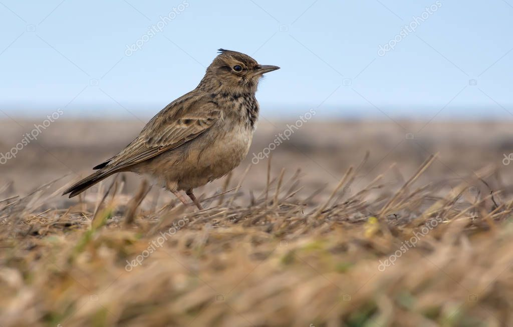 Crested Lark posing on the earth level covered with old grass