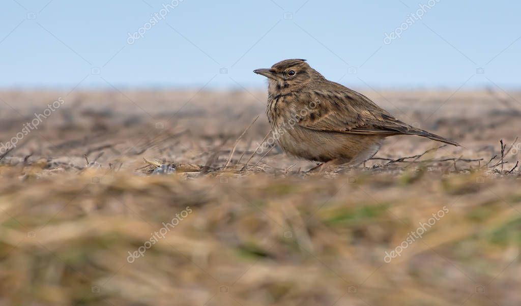Crested Lark posing on flat soil level in winter