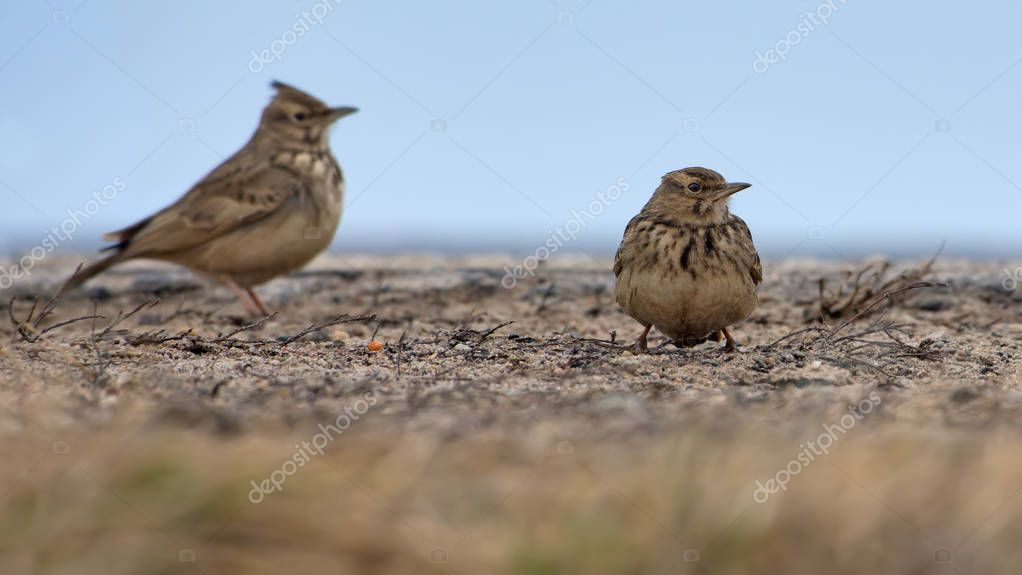 Two Crested Larks standing on flat surface in winter time
