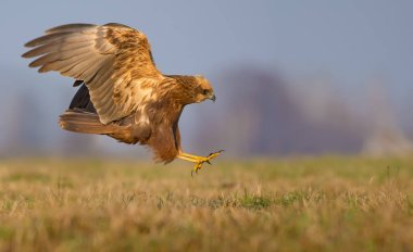 Lateral or side view of Western Marsh Harrier attack in fast flight with spreaded talons