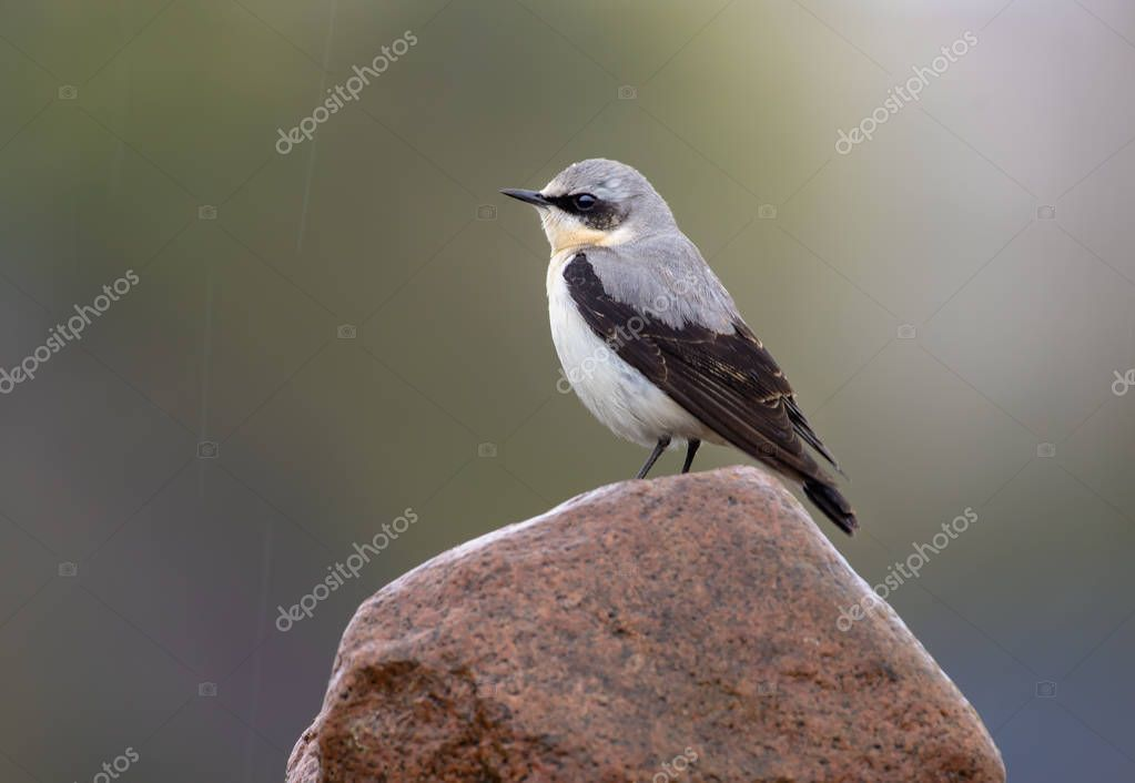 Male Northern Wheatear stands on top of rock in rainy weather conditions
