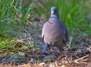 Common wood pigeon proudly walking with a small branch in beak