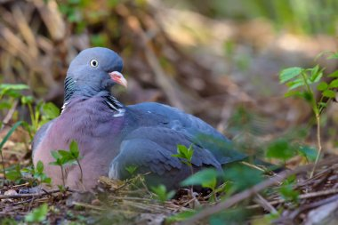 Female Common wood pigeon sits and rests on ground what looks like a hatching with a nest on earth