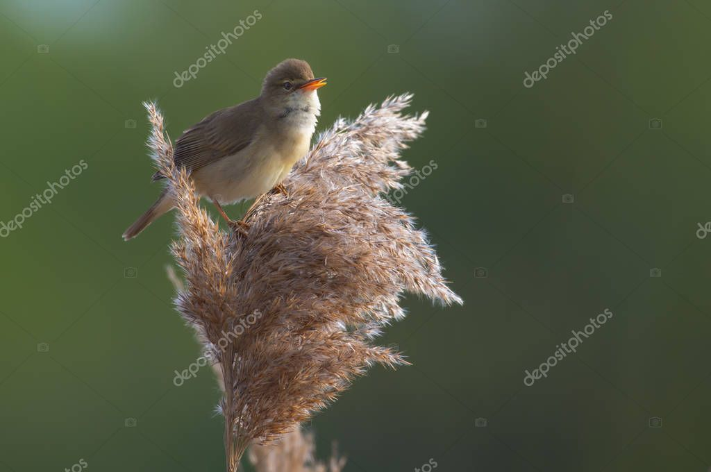 Marsh warbler sings passionately perched on a reed cane