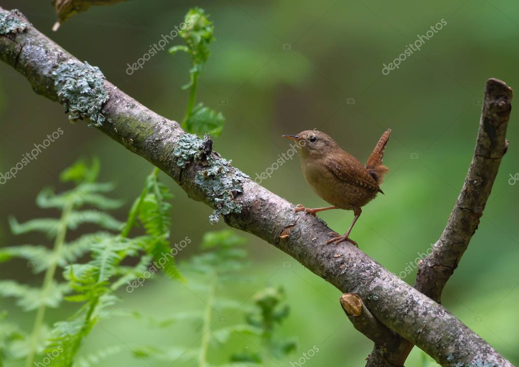 Minimalistic Eurasian wren perched on old branch with ferns in the background