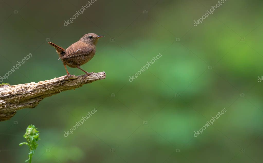 Minimalist Eurasian wren simple posing without anything