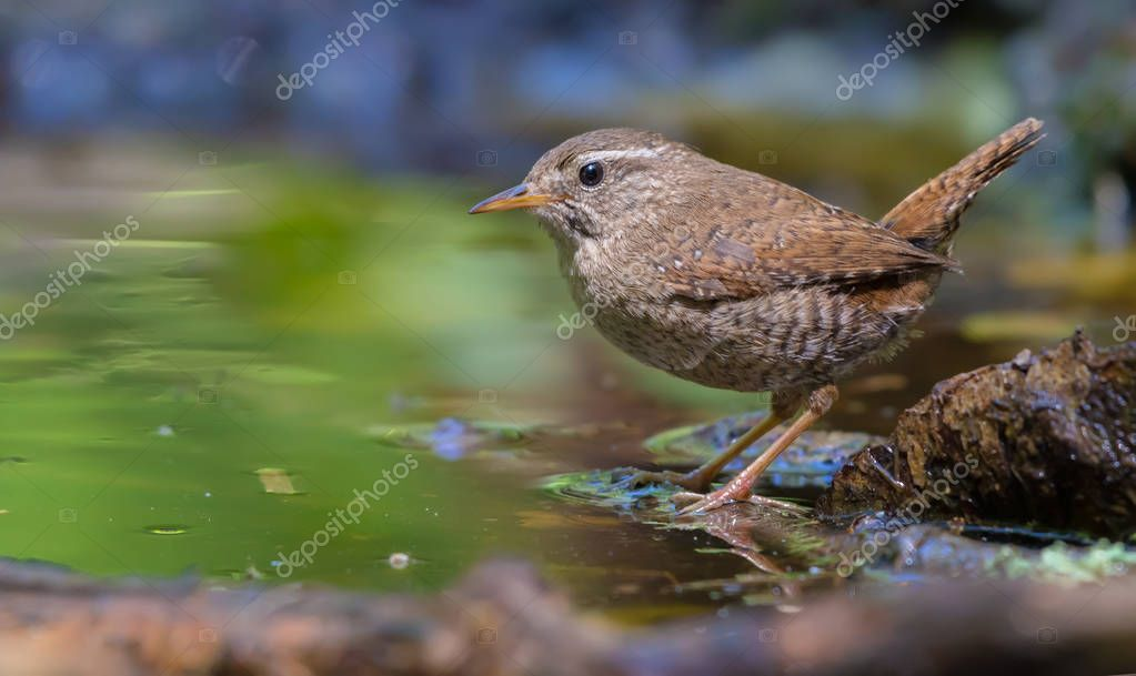 Eurasian wren sitting and posing near a water edge