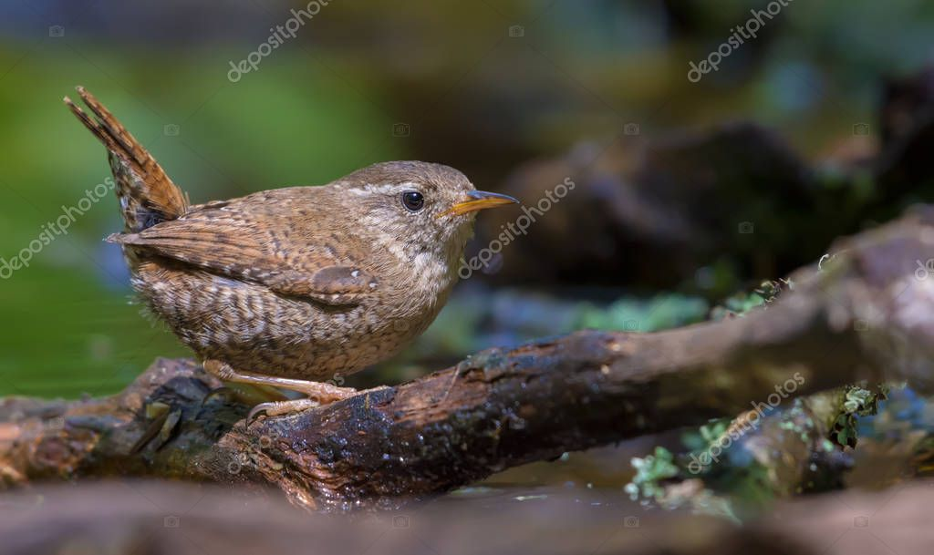 Small Eurasian wren lurking in the roots