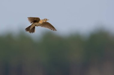 Eurasian skylark flies in sky over the forest edge with stretched wings and sings at the same time his song