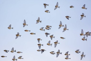 Pack of common linnets in flight over blue sky in winter or autumn times