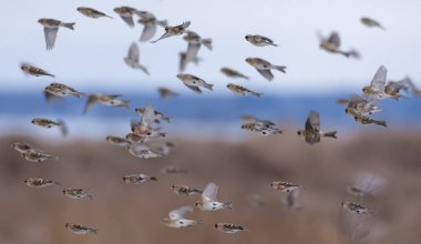 Herd of Common redpolls flying fast in snowy winter over fields and sky