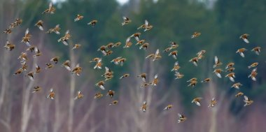 Great number of small birds such as common linnets in sync flight over winter trees and forest