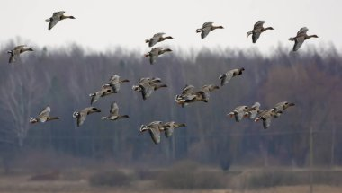 Large herd of Bean geese in flight over trees near the field in spring