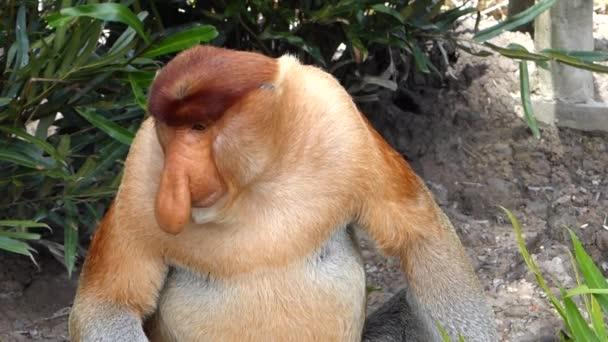 Mužské Proboscis monkey (Nasalis larvatus) sedí na zemi v Labuk Bay, Sabah, Borneo, Malajsie. Sosák opice jsou endemické na ostrov Borneo.