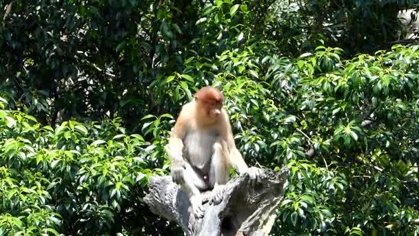 Fiatal férfi ormányos majom (Nasalis larvatus) ül egy fa a Labuk Bay, Sabah, Borneo, Malajzia. Ormány majmok endemikus Borneó szigetén.