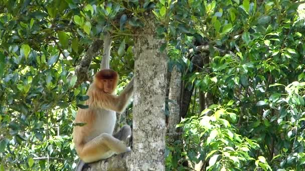 Proboscis opice (Nasalis larvatus) sedí na stromě v Labuk Bay, Sabah, Borneo, Malajsie. Opice rodu Proboscis jsou endemické na ostrově Borneo.