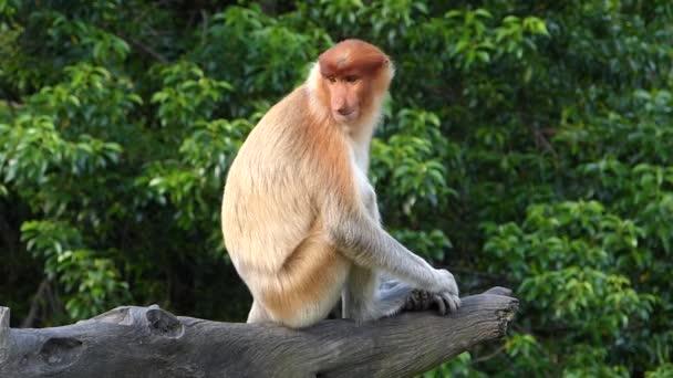 Female Proboscis monkey (Nasalis larvatus) sitting on a tree in Labuk Bay, Sabah, Borneo, Malaysia. Proboscis monkeys are endemic to the island of Borneo.