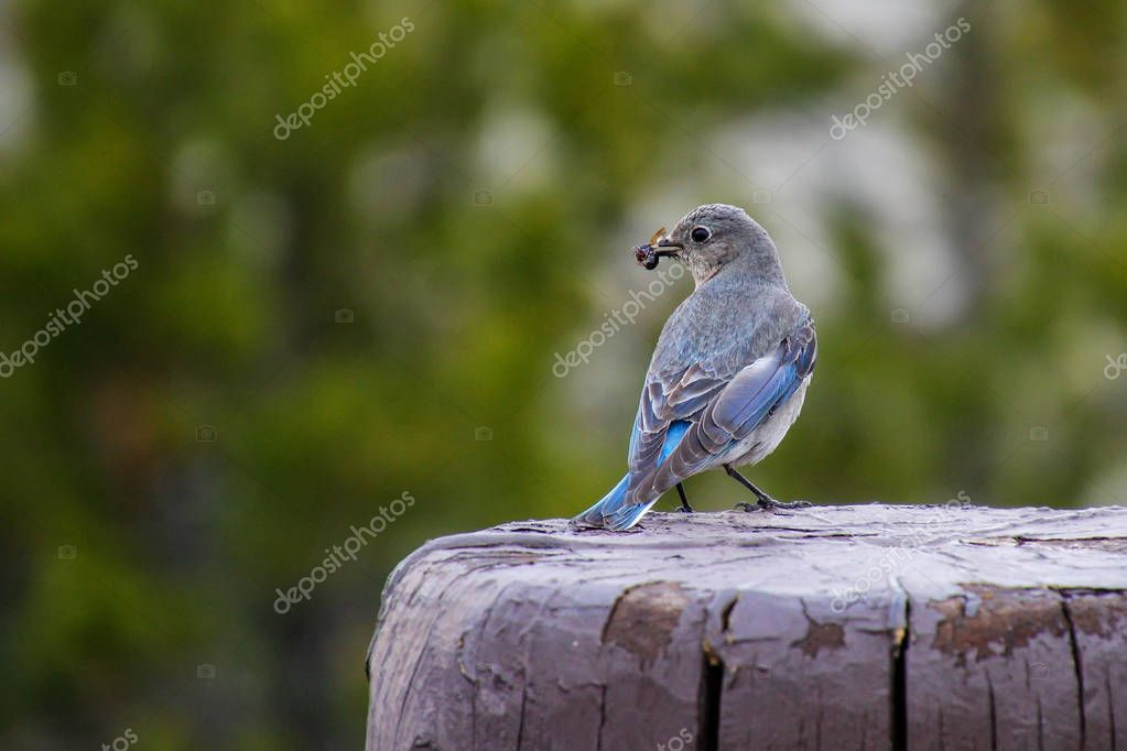 Female western bluebird (Sialia mexicana) sitting on a fence post with bug in its beak, Yellowstone National Park, Wyoming