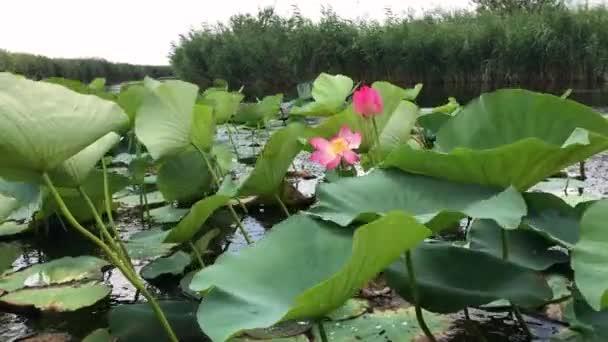 Virágzó Lotus Flower. Lotus mezőjét. Nyári idő