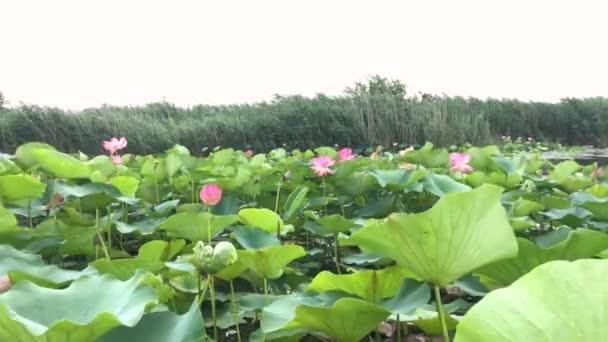 Blooming Lotus Flower Lotus Field Summer Time Stock Video
