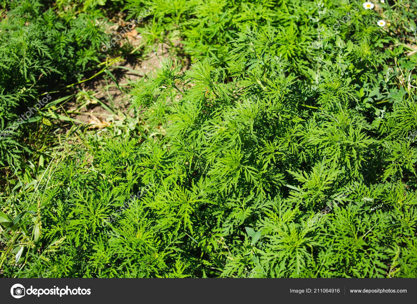 季節性アレルギーを引き起こしているブタクサ植物 ブタクサ