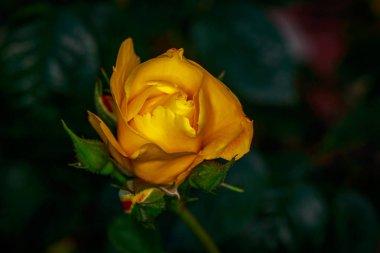 "Картина, постер, плакат, фотообои ""ароматная роза в полном расцвете сил. вашингтон парк роуз гарден, портленд, орегон "", артикул 203125822"