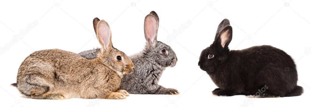 Three rabbits sitting isolated on white background