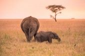 Fotografie Parent African Elephant with his young baby Elephant in the savannah of Serengeti at sunset. Acacia trees on the plains in Serengeti National Park, Tanzania. Wildlife Safari trip in  Africa.
