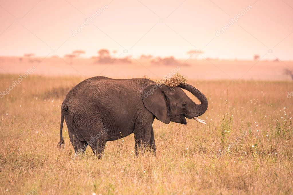 Young African Baby Elephant in the savannah of Serengeti at sunset. Acacia trees on the plains in Serengeti National Park, Tanzania.  Wildlife Safari trip in  Africa.