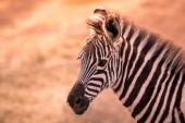 Fiatal baba zebra mintás, fekete és fehér csíkokkal. Vadon élő jelenet a természet savannah, Afrika. Safari Nemzeti Park Tanzániában.