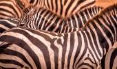 Zavřete portrét z zebra v stádo zeber se vzorkem a černé pruhy. Divoké scény z přírody v savannah, Afrika. Safari v národním parku z Tanzanie
