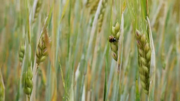 A ladybird sits on a wheat ear in a field
