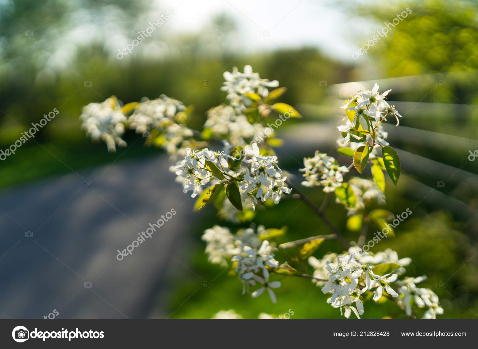 First Spring Flowering Bushes Trees White Flowers Amelanchier Close