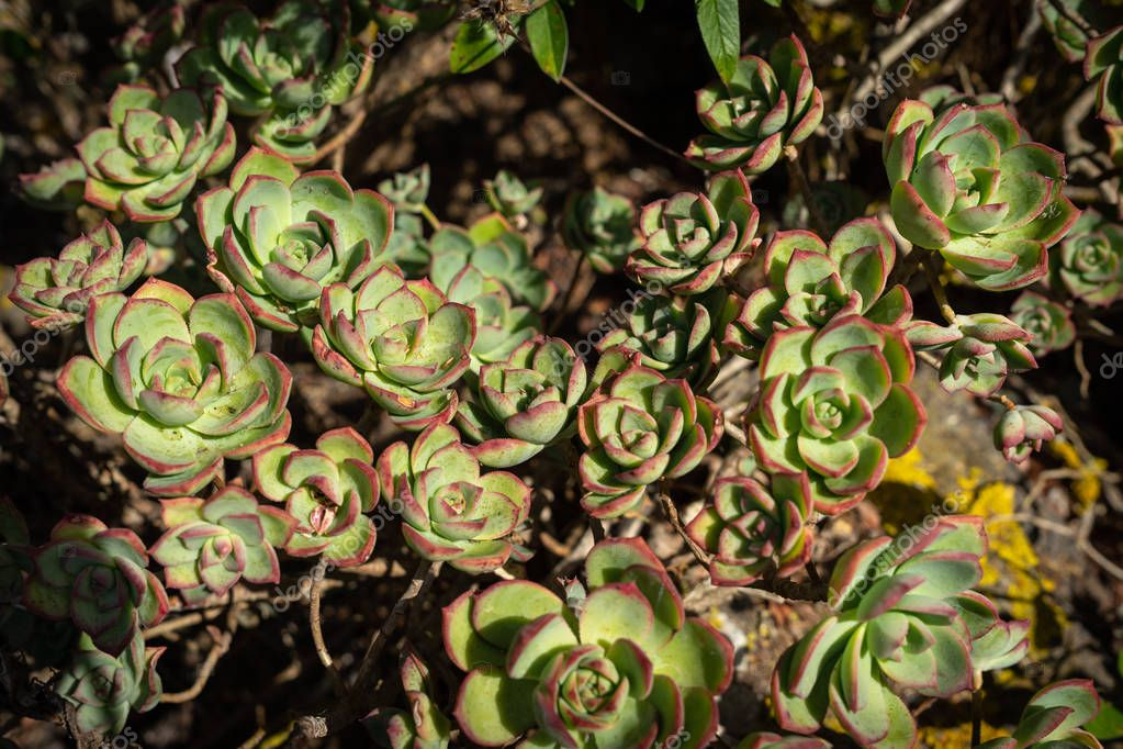 A typical subtropical plant of the Canary Islands - Aeonium (tree houseleek).