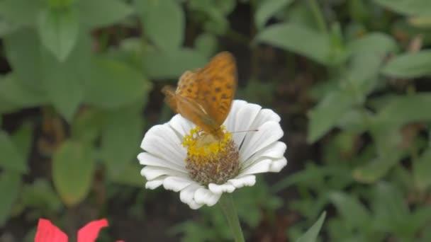 Kerek foltú gyöngyházlepke (Argynnis aglaja) cinea virág-pillangó.