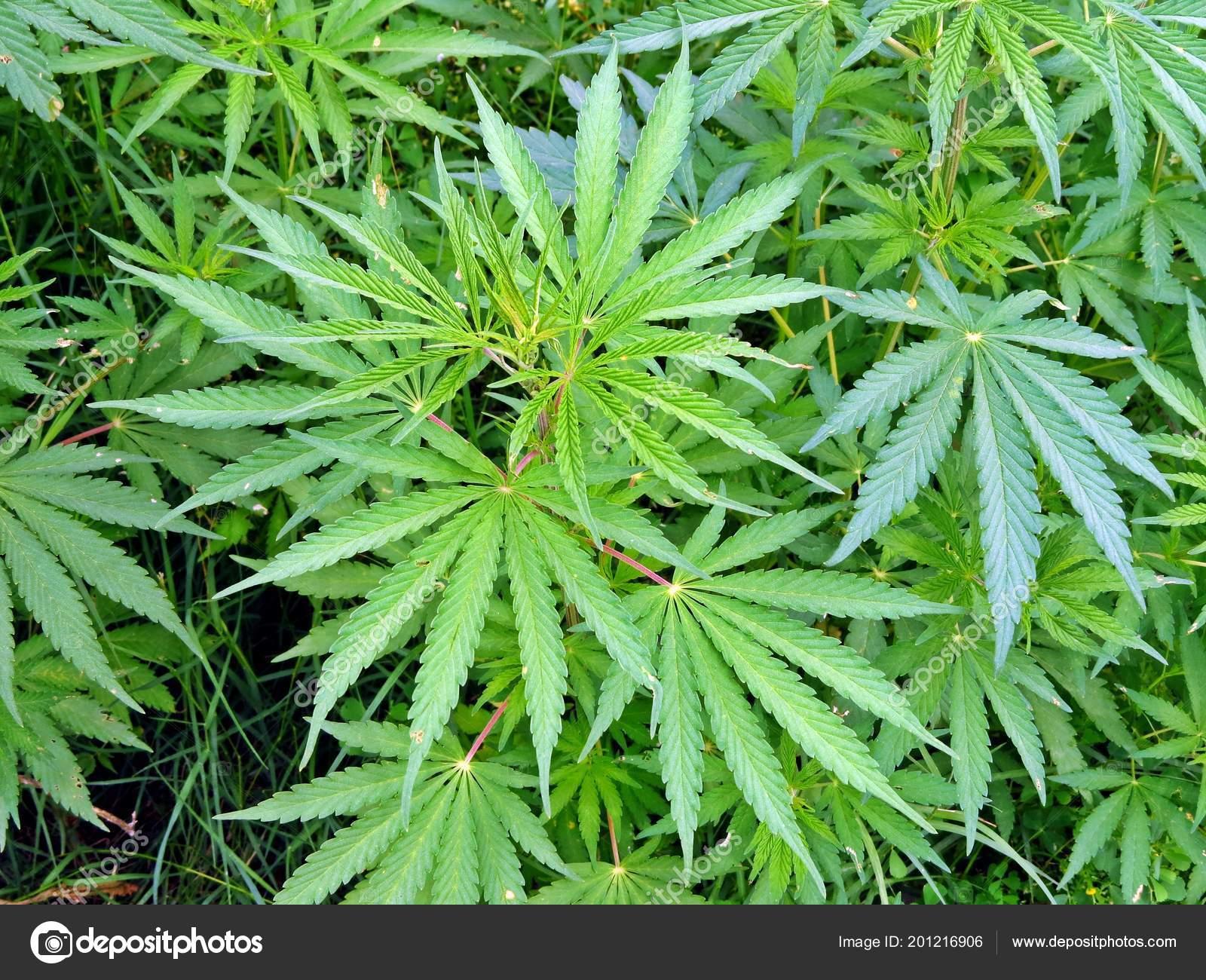 Растет конопля скачать бесплатно читать данилин марихуана