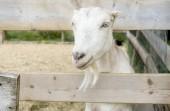 Fotografie Freundliche weiße Ziege hinter einem umzäunten auf einer Farm in Prince Edward Island, Canada