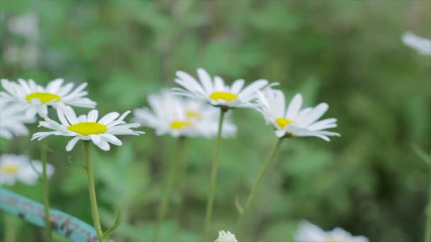 Footage of camomile flowers on a meadow footage