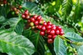 Kávovník s kávovými zrny na farmě a plantážích v Thajsku.