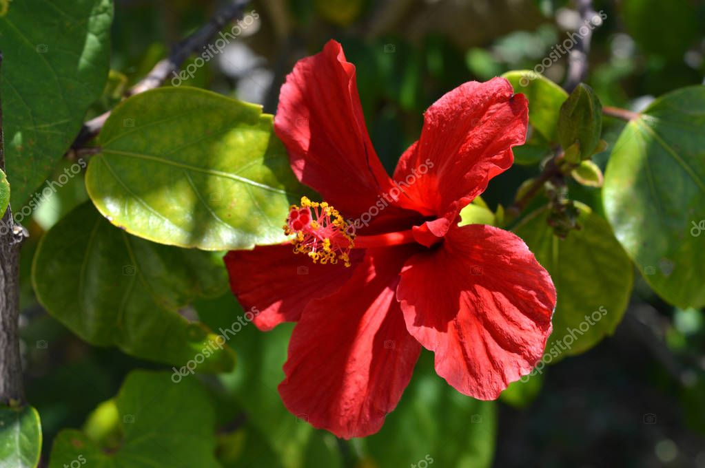 Close-up of a Red Chinese Hibiscus, Nature, Macro