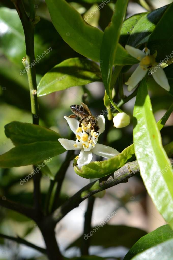 Flower of Sicily, Close-up of Clementine Flowers with a Bee Collecting Pollen