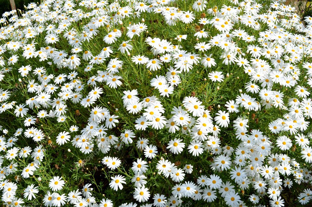 Background of a White Daisy Bush, Nature