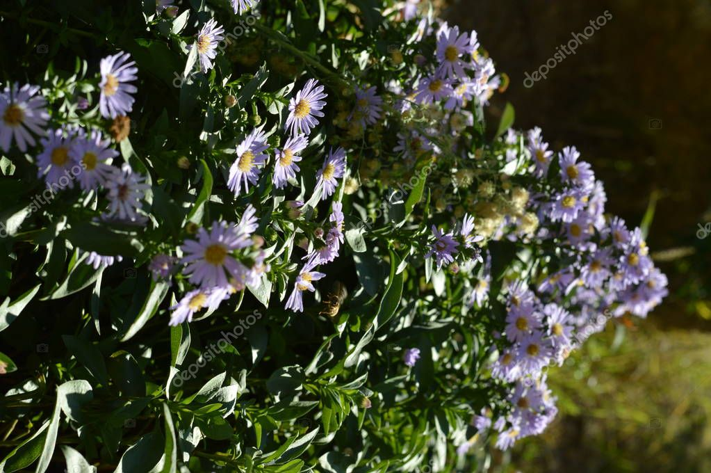 Close-up of Purple Aster Flowers, Nature